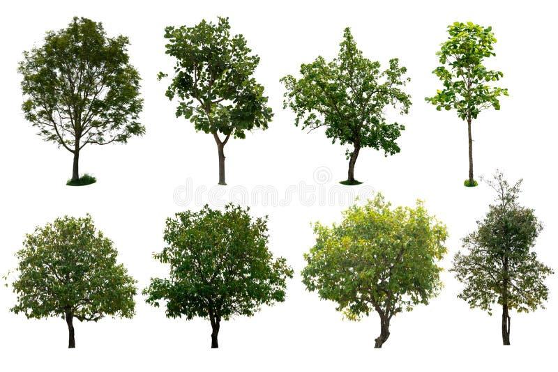 L'albero isolato ha messo un fondo bianco fotografia stock