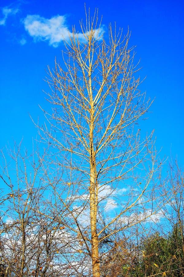 L'albero nudo dell'autunno dorato fotografie stock