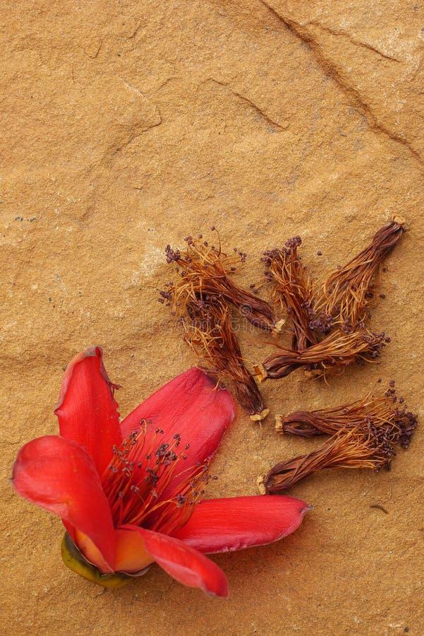 L'albero rosso del cotone fiorisce la roccia marrone Il fiore della ceiba del Bombax è i parenti immagini stock