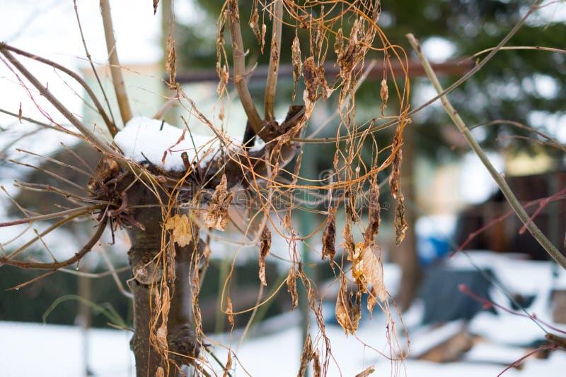 L'albero sistemato con i gambi ed asciuga le foglie fotografia stock