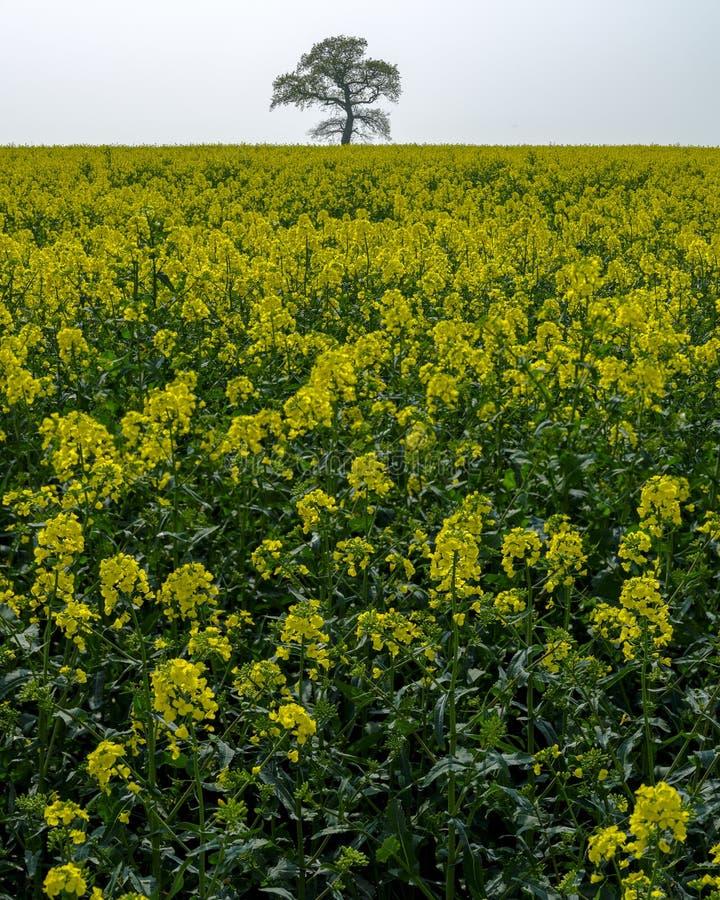 ?L'albero solo? in un giacimento della molla del seme di ravizzone di fioritura immagini stock libere da diritti
