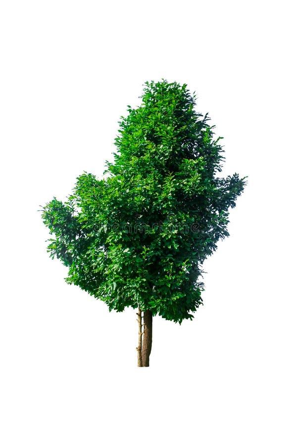 L'albero su un bianco ha isolato il fondo da usare per la pubblicità o la progettazione decorativa fotografia stock libera da diritti