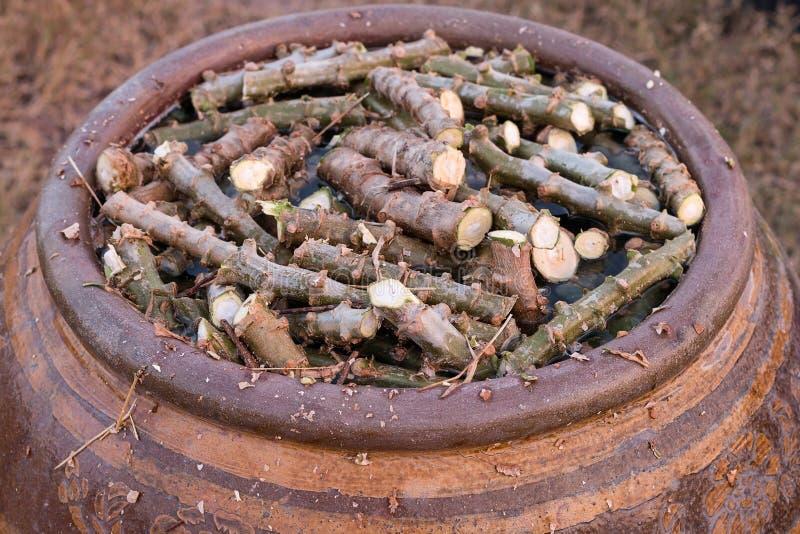 L'albero tagliato della manioca inzuppa le radici degli stimolanti immagine stock libera da diritti