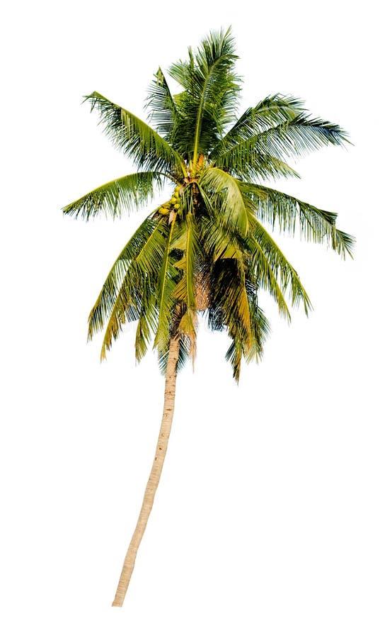 L'albero verde dell'isolato dell'albero sui precedenti bianchi con la copia s fotografia stock