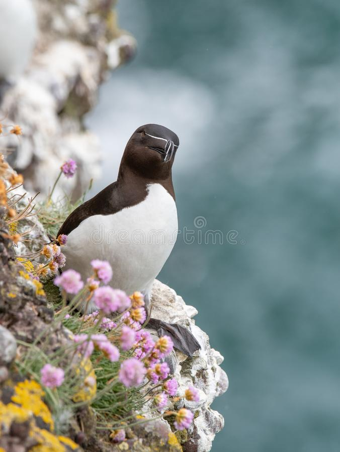 L'Alca Torda de petit pingouin était perché sur les roches en Ecosse image stock