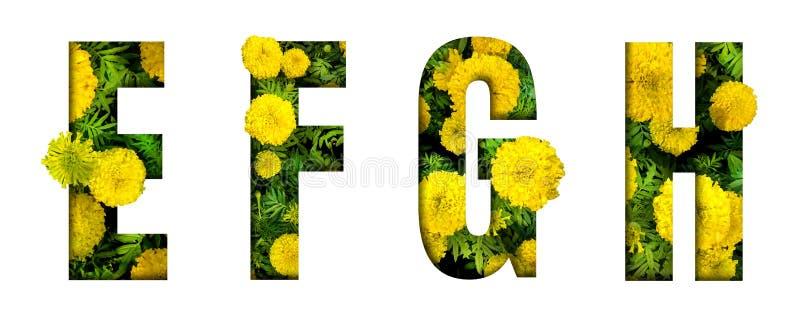 L'alfabeto E, F, G, H ha fatto dalla fonte del fiore del tagete isolata su fondo bianco Bello concetto del carattere immagini stock