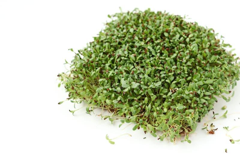 L'alfalfa microgreen ? situato su un fondo bianco, vista superiore fotografia stock libera da diritti