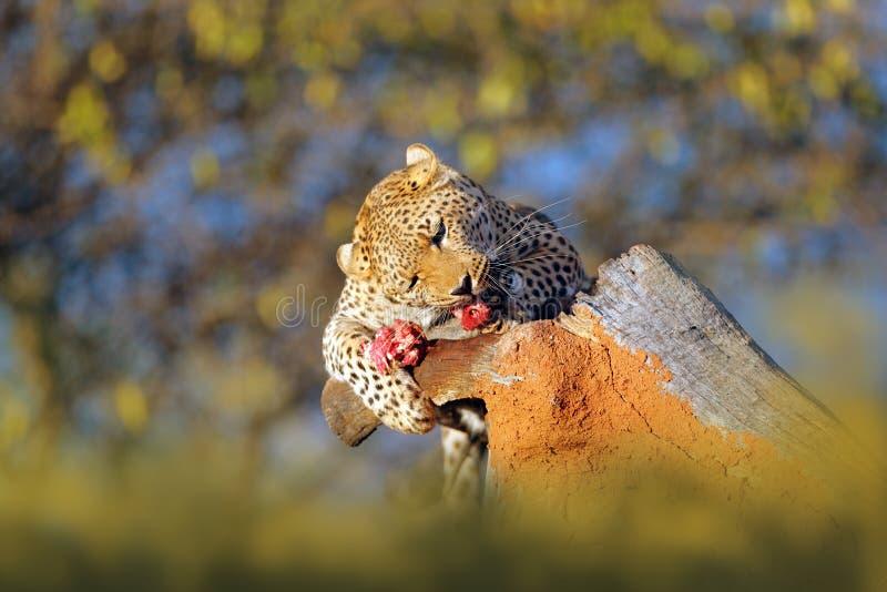 L'alimentazione del leopardo prende l'albero Comportamento animale di uccisione in Africa Gatto selvaggio con la carcassa della z fotografia stock