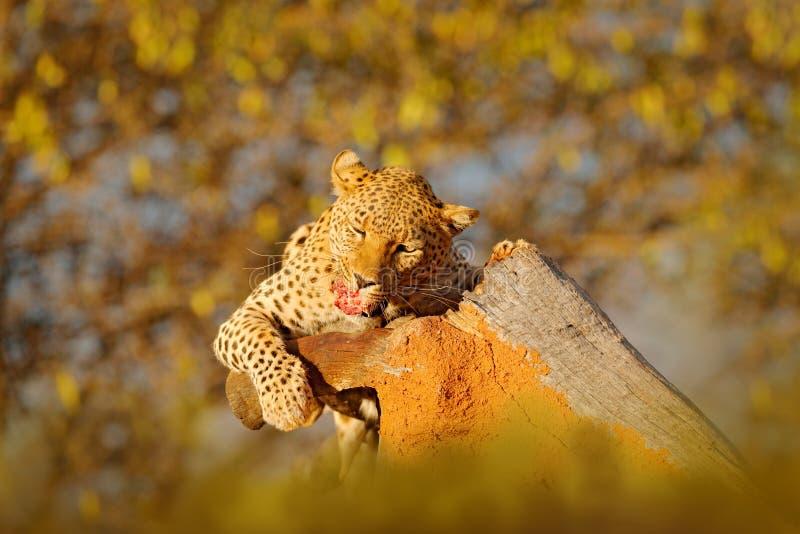 L'alimentazione del leopardo prende l'albero Comportamento animale di uccisione in Africa Gatto selvaggio con la carcassa della z fotografie stock libere da diritti