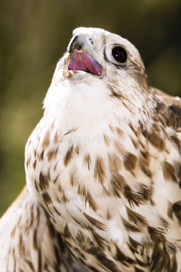 L'Allemagne, Köln, faucon de Saker dans le zoo images libres de droits