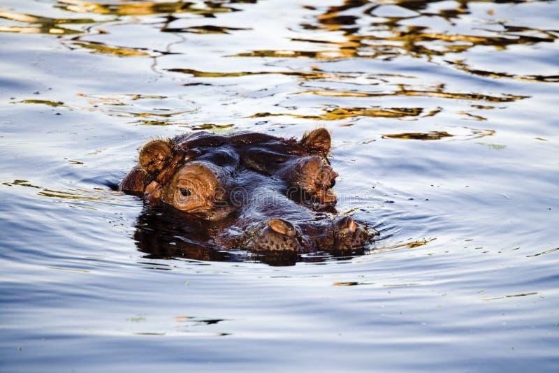 L'Allemagne, Köln, hippopotame dans le zoo images stock