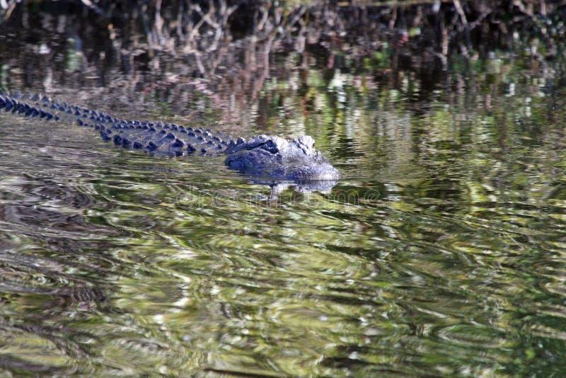L'alligator américain image libre de droits