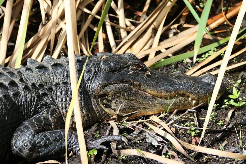 L'alligator américain images libres de droits