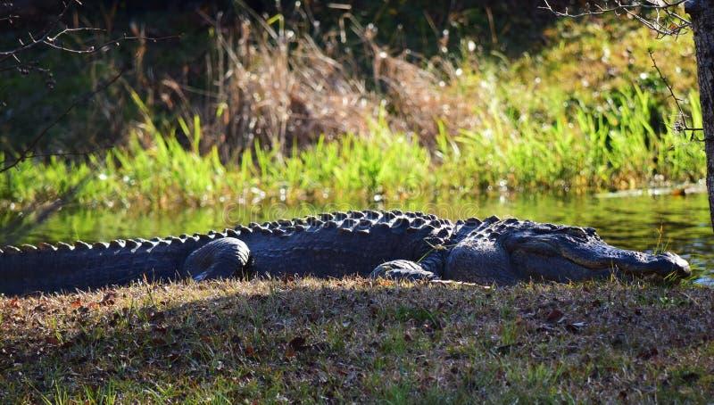 L'alligator dort par l'eau photographie stock libre de droits
