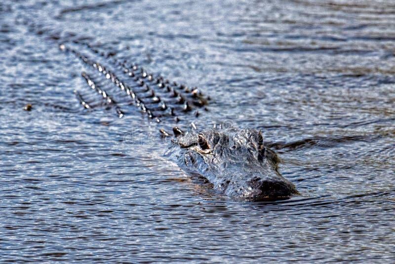 L'alligatore di Florida in terreni paludosi si chiude sul ritratto fotografia stock libera da diritti