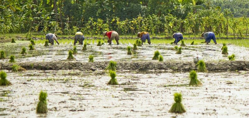 L'allineamento degli agricoltori sta piantando il riso fotografia stock