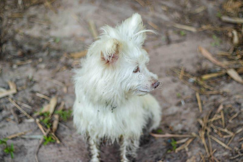 L'altopiano Terrier bianco ad ovest fotografia stock libera da diritti