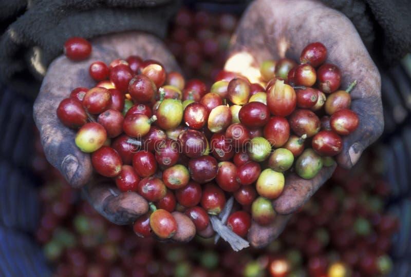 L'AMÉRIQUE LATINE GUATEMALA KOFFE photos libres de droits