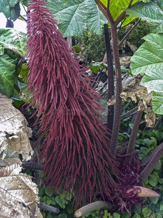 L'amaranthus caudatus fiorisce, noto mentre l'amore si trova sanguinando fotografia stock libera da diritti