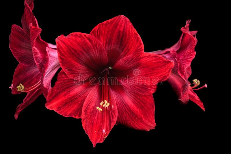 L'amarillide rosso fiorisce in piena fioritura su fondo nero immagini stock