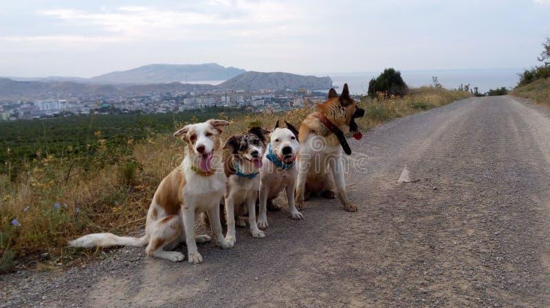 L'americano Akita guarda border collie Staffordshire Terrier fotografia stock libera da diritti