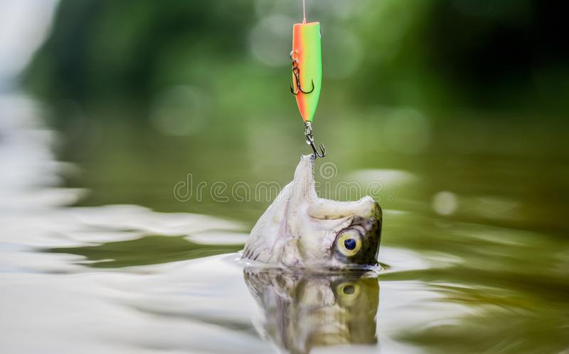 L'amo o l'amo di pesce è un dispositivo per la cattura mediante impalcatura in bocca Pesce intrappolato vicino La bocca aperta de fotografie stock