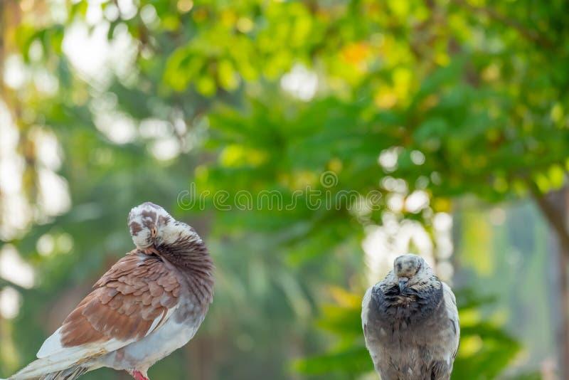 L'amore vero di una coppia di piccioni che saranno insieme per sempre fotografia stock libera da diritti