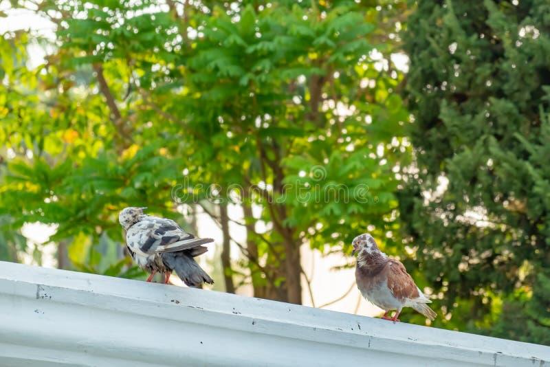 L'amore vero di una coppia di piccioni che saranno insieme per sempre immagini stock libere da diritti