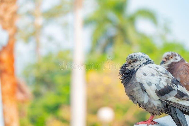 L'amour vrai de quelques pigeons qui seront ensemble pour toujours image stock