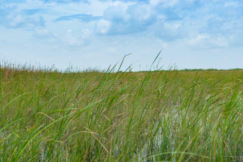 L'ampia canna ha coperto le zone umide piane dei terreni paludosi di Florida fotografia stock