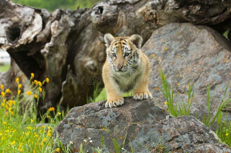 L'Amur & x28; Siberian& x29; rocce rampicanti del gattino della tigre con giallo e il gree immagini stock libere da diritti