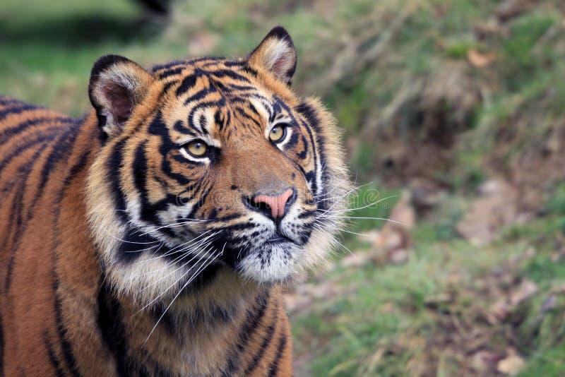 L'Amur Tiger Cub 2 fotografie stock libere da diritti