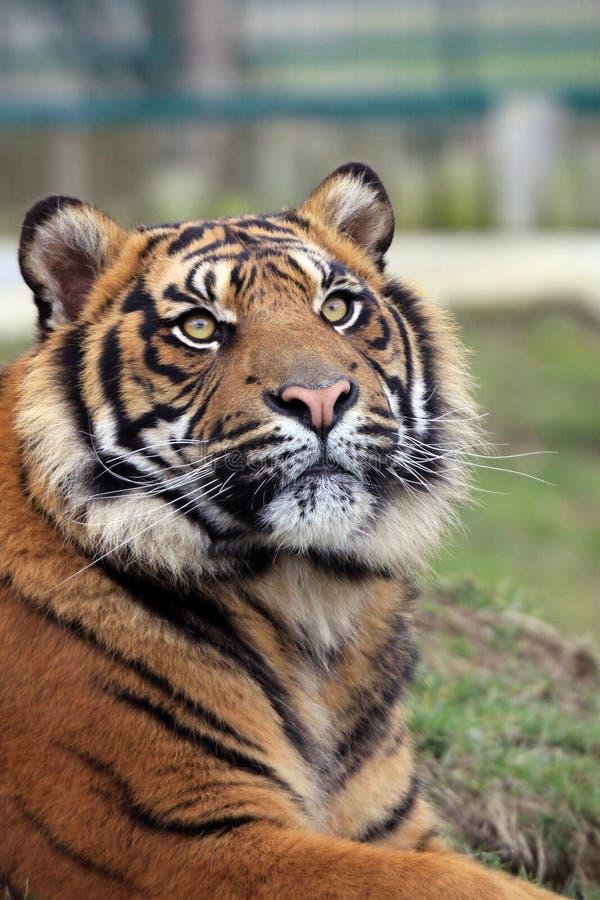 L'Amur Tiger Cub 3 fotografia stock