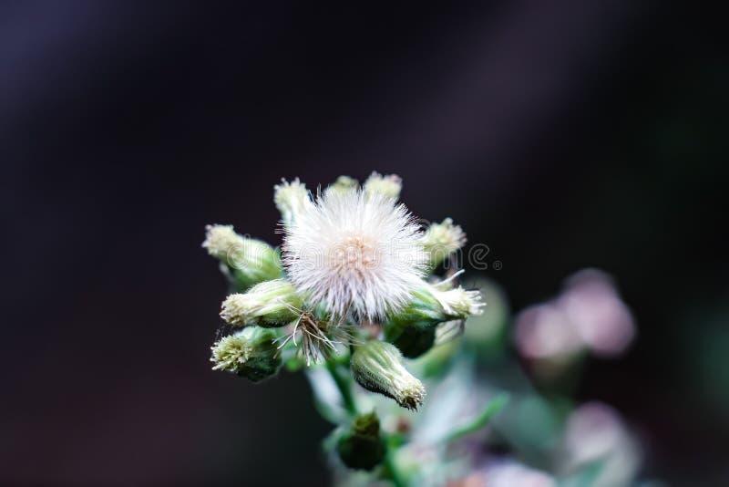 L'Anadian Horseweed è un forbice nazionale eretto annuale, che cresce su fusti leggermente pelosi, di altezza da 2 piedi a 7 pied immagine stock libera da diritti