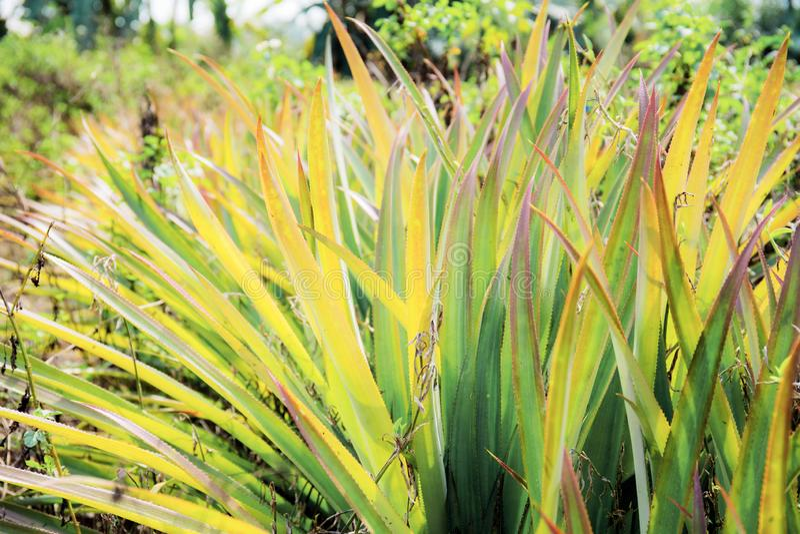 L'ananas lascia sull'albero in azienda agricola fotografia stock libera da diritti