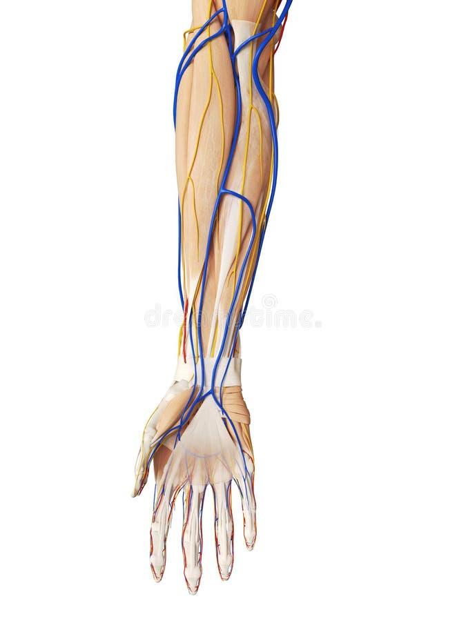 L'anatomia del braccio illustrazione vettoriale