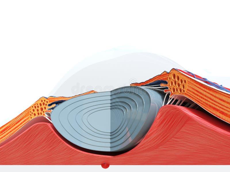 L'anatomia dell'occhio illustrazione vettoriale