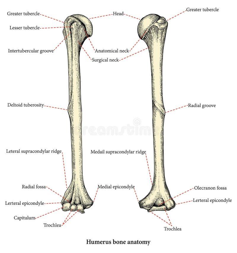 L'anatomia delle ossa di braccio umane superiori passa a disegno lo stile d'annata, Huma illustrazione vettoriale