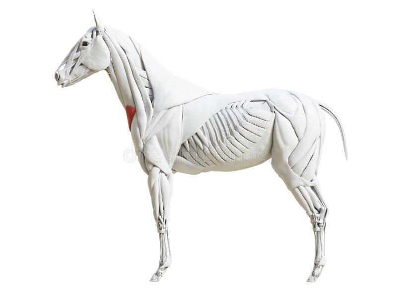 l'anatomia equina del muscolo - colli cutaneo illustrazione di stock