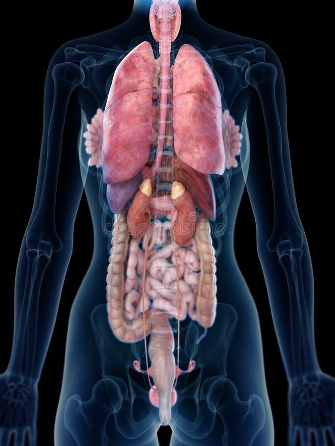 L'anatomia posteriore di una donna illustrazione vettoriale
