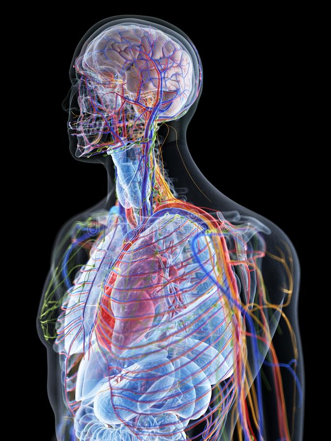 l'anatomia umana royalty illustrazione gratis