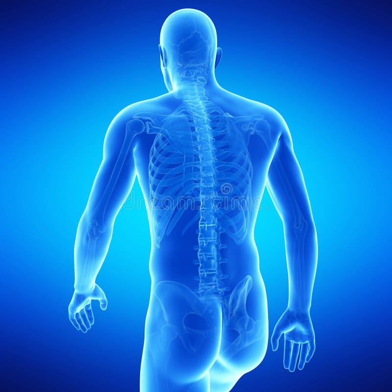 L'anatomie de corps supérieur illustration libre de droits