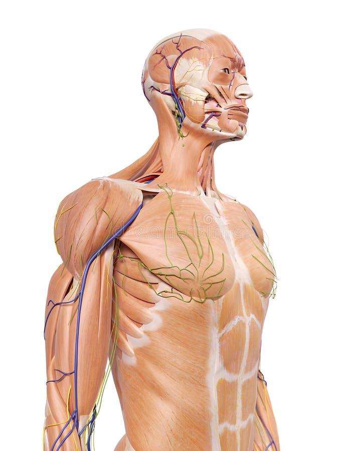 L'anatomie de corps supérieur illustration de vecteur