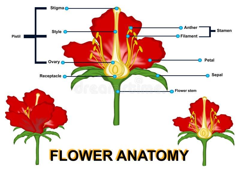 L'anatomie de fleur illustration stock
