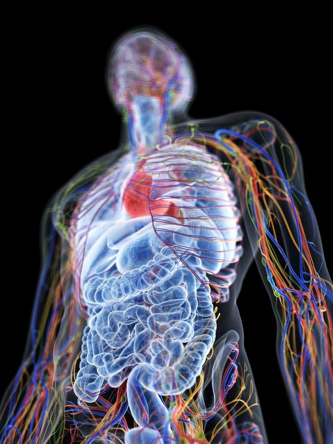 l'anatomie humaine illustration libre de droits