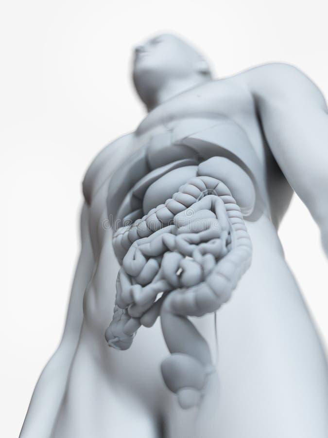 L'anatomie interne masculine illustration libre de droits