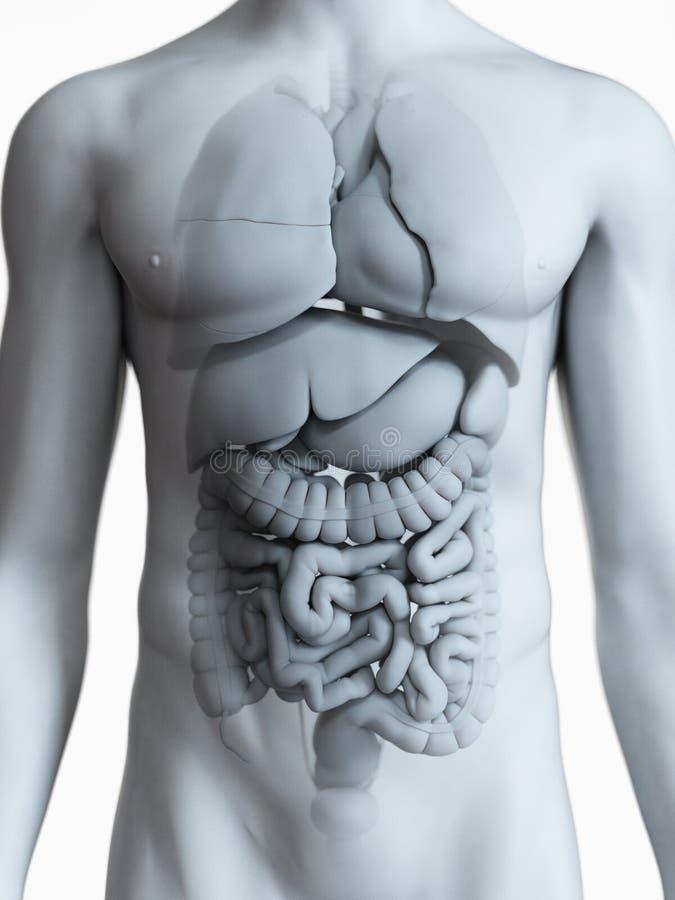 L'anatomie interne masculine illustration de vecteur