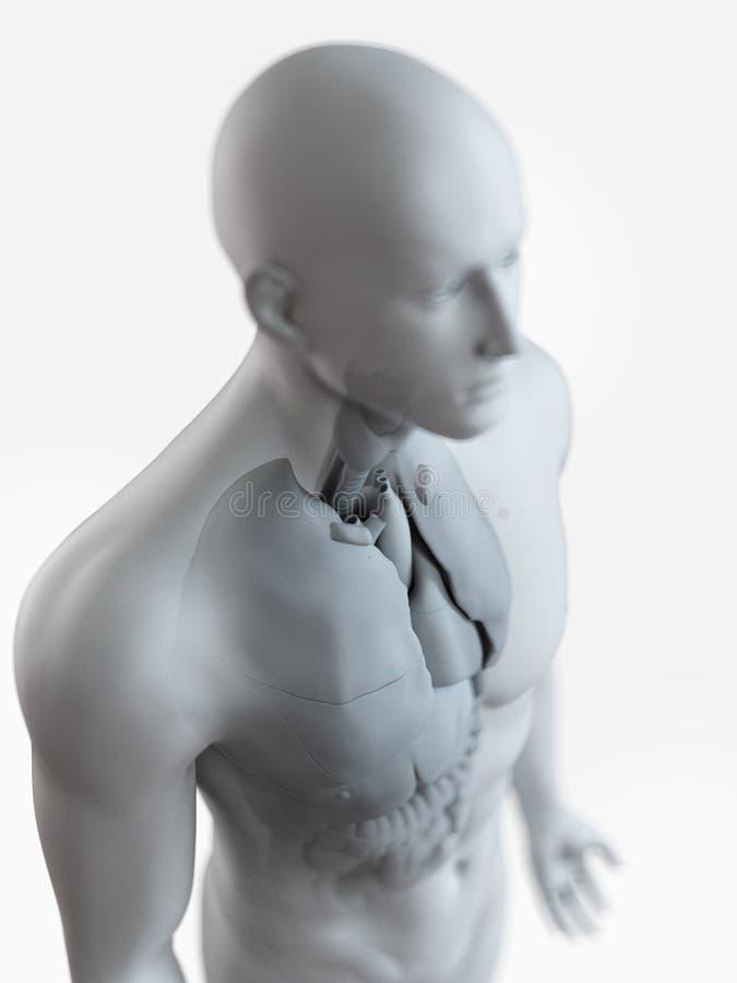 L'anatomie interne masculine illustration stock