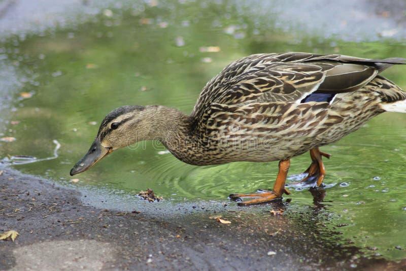 L'ANATRA cammina in una pozza, un'anatra L'anatra pende per bere l'acqua immagini stock libere da diritti