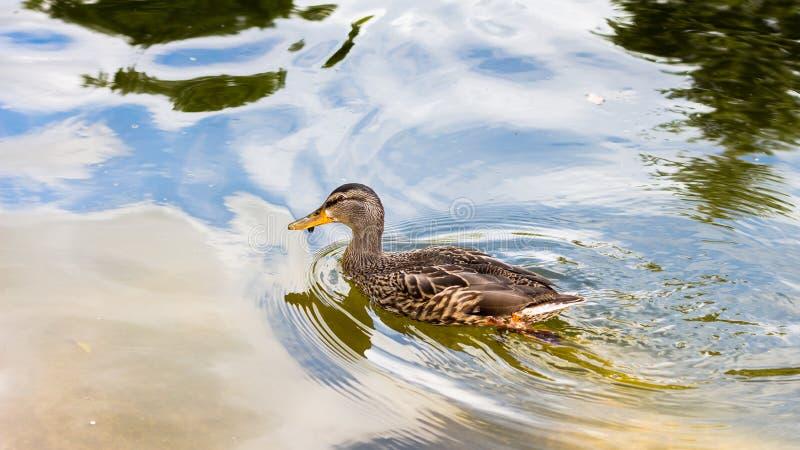 L'anatra: colore ad acqua fotografia stock